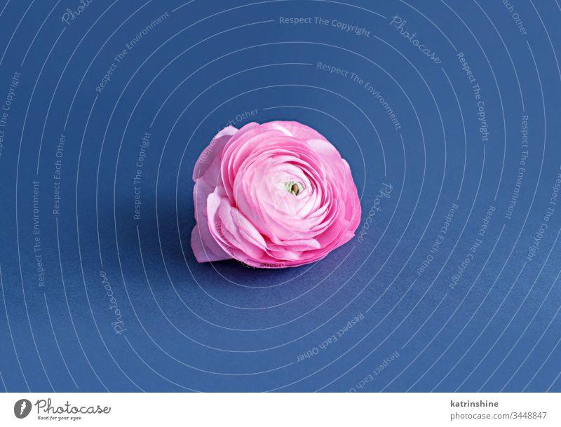 Rosa Hahnenfußblume auf blauem Hintergrund Blume rosa Ranunculus Frühling romantisch hellrosa klassisches Blau Zusammensetzung Rosen abschließen Konzept kreativ