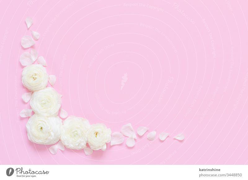 Cremefarbene Hahnenfußblüten auf hellrosaem Hintergrund Blume Sahne Ranunculus Frühling romantisch Pastell flache Verlegung Zusammensetzung Rosen Draufsicht