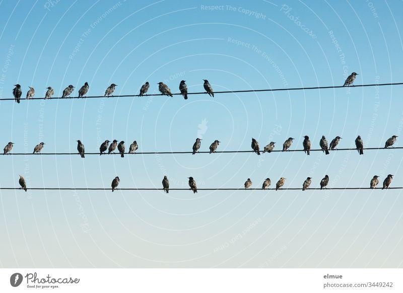 zahlreiche Stare sitzen auf drei Leitungen Spreen sturnus vulgaris purpur glänzend Gefieder Singvogel viele Schlichtkleid Sperlingsvogel Himmel