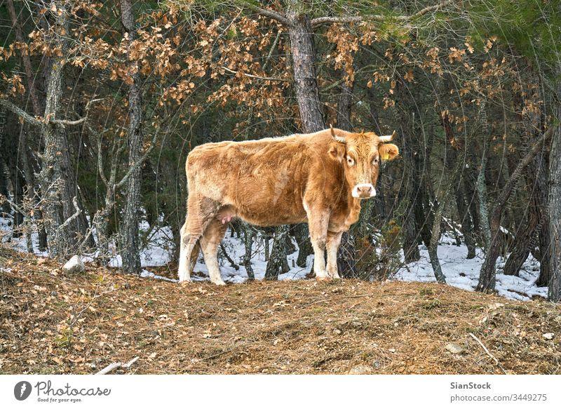 Einsame Kuh auf dem Wald in Evros Griechenland Feld angus Rind Ackerbau Gras Weidenutzung blau ländlich Wiese einsam Himmel Natur Canterbury Sommer Kühe