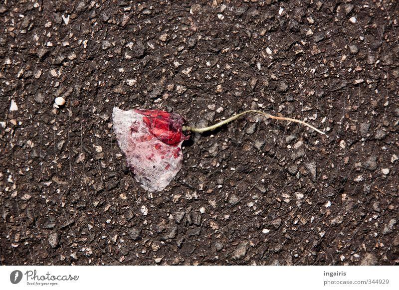 Überrollt! Umwelt Pflanze Blume Blüte Wildpflanze Klatschmohn Straße Asphalt dehydrieren kaputt trocken grau rosa Traurigkeit Trauer Vergänglichkeit Zerstörung