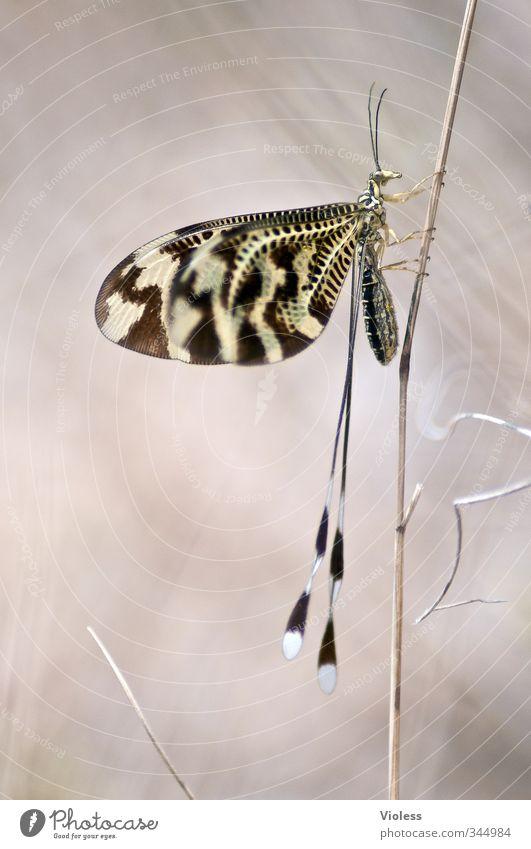 ...Stabhochsprung Natur Tier Flügel schön Insekt Schmetterling Makro Farbfoto Makroaufnahme