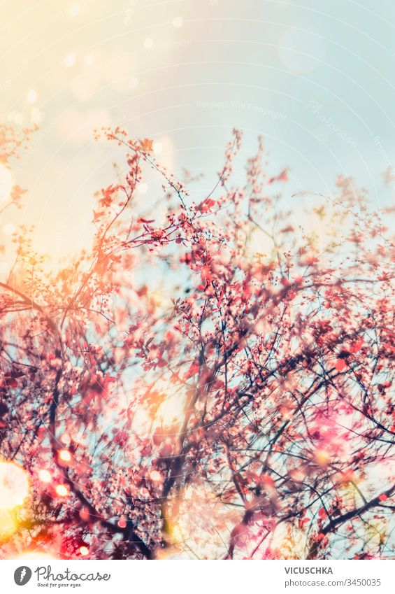Frühlingsnaturhintergrund mit Kirschblüte im Freien. Sonniger Frühlingstag. Frühlingskonzept rosa Natur Hintergrund Kirschblüten sonnig Tag Konzept Saison