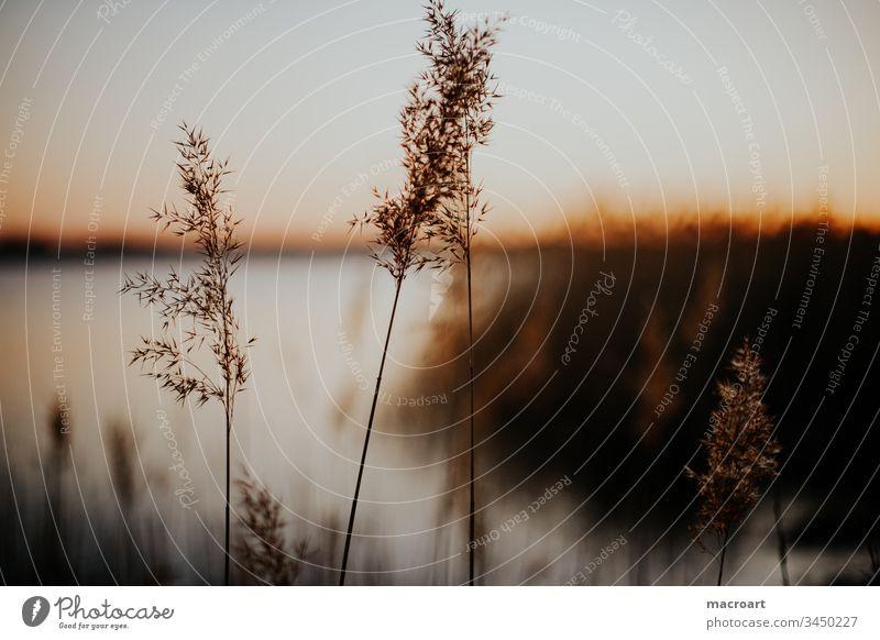 Hufeisensee am Abend Hufi wasser abendsonne abendrot schilf schilfrohr gräser frühling erholung tagebau geflutet braunkohlebau gewässer badesee landschaft natur