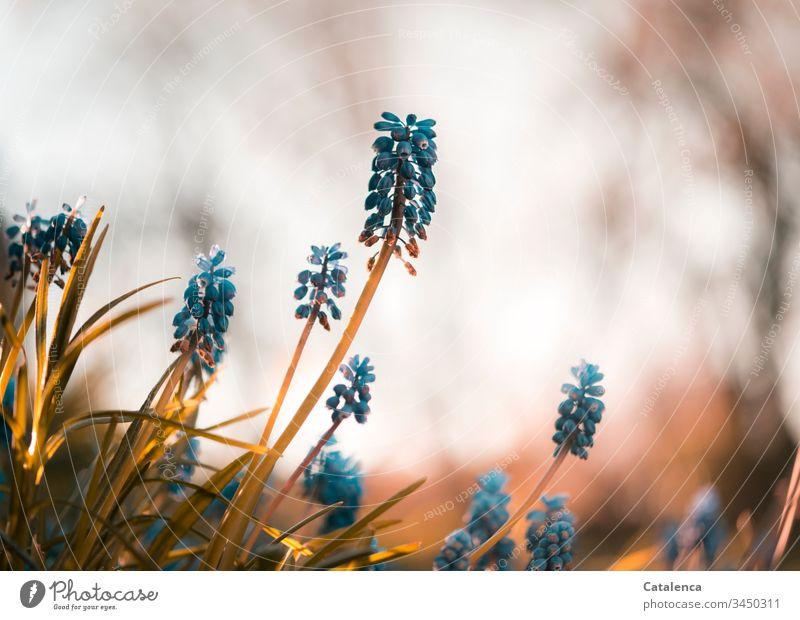 Traubenhyazinthen aus der Froschperspektive Blühend Blüte klein Tageslicht Frühling Garten Lila Grün blüht Blume Pflanze Natur Nahaufnahme Makroaufnahme