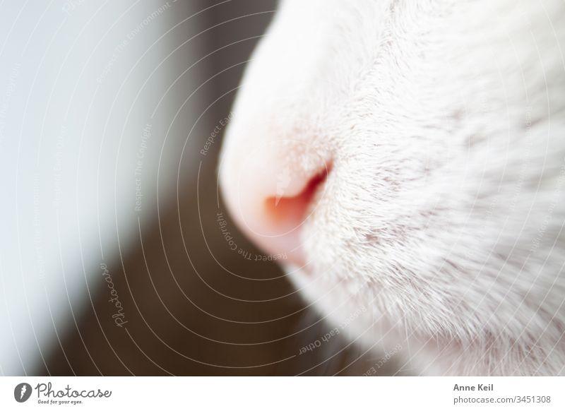 Katzennase im Tageslicht Tierporträt Menschenleer Innenaufnahme Farbfoto Tierliebe Haustier Nase Katzennase Fell rosa hell weiss schön