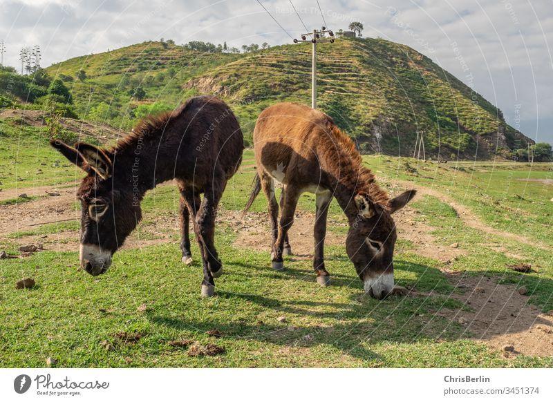 2 freilaufende Esel Landschaft Wiese gemeinsam Tiere Farbfoto Natur grün Gras Außenaufnahme Menschenleer Nutztier Fressen Tiergruppe Weide