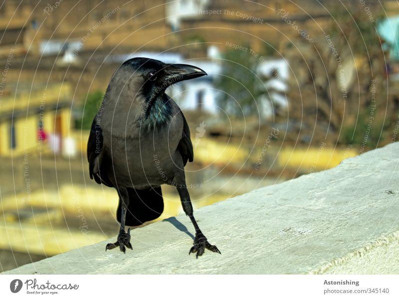 black bird Stadt Baum Tier schwarz Haus gelb Wand Auge Mauer grau Beine Vogel Fassade Wildtier stehen Flügel