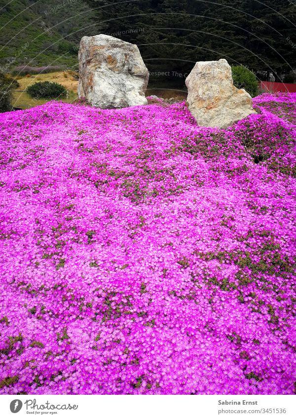 Wunderschönes Feld aus pinken Blumen Blumenfeld rosa Blütezeit Frühling Sommer Steine Natur viele tropisch exotisch Oregon Urlaub reisen geblümt Landschaft