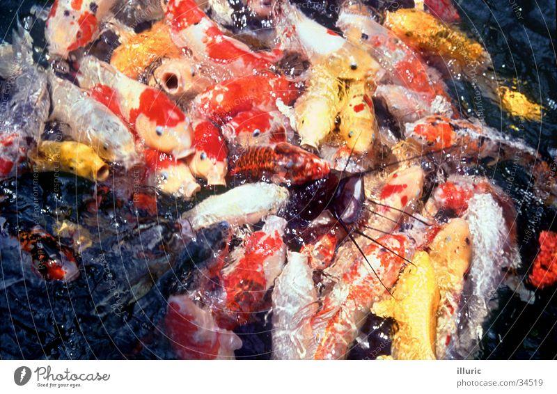 Fischsalat gold Asien Appetit & Hunger Japan eng kämpfen füttern Haufen Goldfisch Koi Karpfen überfüllt Wels