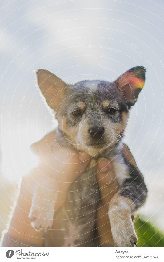 Ein Welpe wird in den Himmel gehalten 2017-2020 erste Einfuhr blauer Absatzschuh Texas texas heeler Schwärmerei Hundeblick Hündchen Tierjunges bester Freund