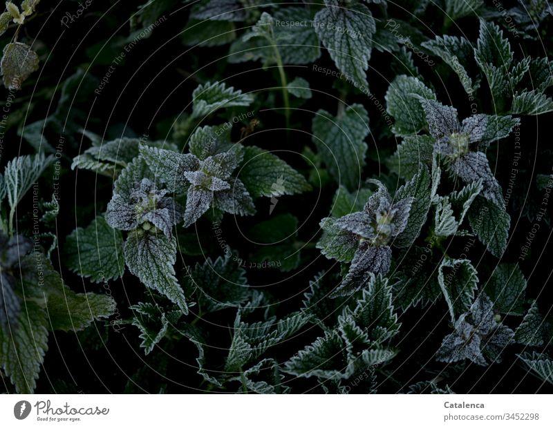 Raureif auf Brennnesselblätter Natur Flora Pflanze Brennessel Blatt Grün Schwarz Weiss Reif Jahreszeit Frost und Kälte Herbst Winter kalt