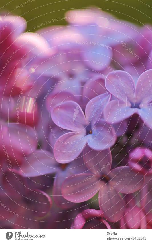 blühender Flieder mit Lichtreflexen Blüte Frühlingsblume Mai Blume Frühlingsfarbe Garten duftend Fliederblüte Fliederduft Duft Gartenpflanzen Fliederbusch