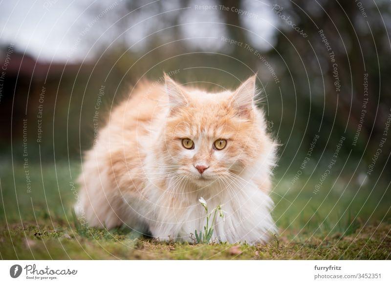 Maine Coon Katze riecht an einer Blume in der Natur Haustiere katzenhaft Fell fluffig Langhaarige Katze Hirschkalb beige Creme-Tabby Ingwer-Katze weiß Ein Tier