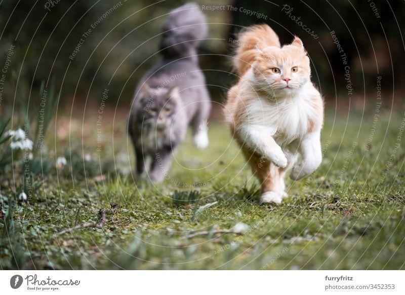 zwei Maine Coon Katzen rennen durch den Garten und jagen sich hinterher Haustiere katzenhaft Fell fluffig Langhaarige Katze blau gestromt Hirschkalb beige