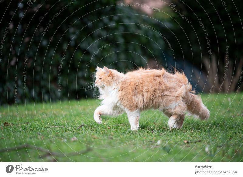 Maine Coon Katze geht durch den Garten an einem windigen Tag Haustiere katzenhaft Fell fluffig Langhaarige Katze Hirschkalb beige Creme-Tabby Ingwer-Katze weiß