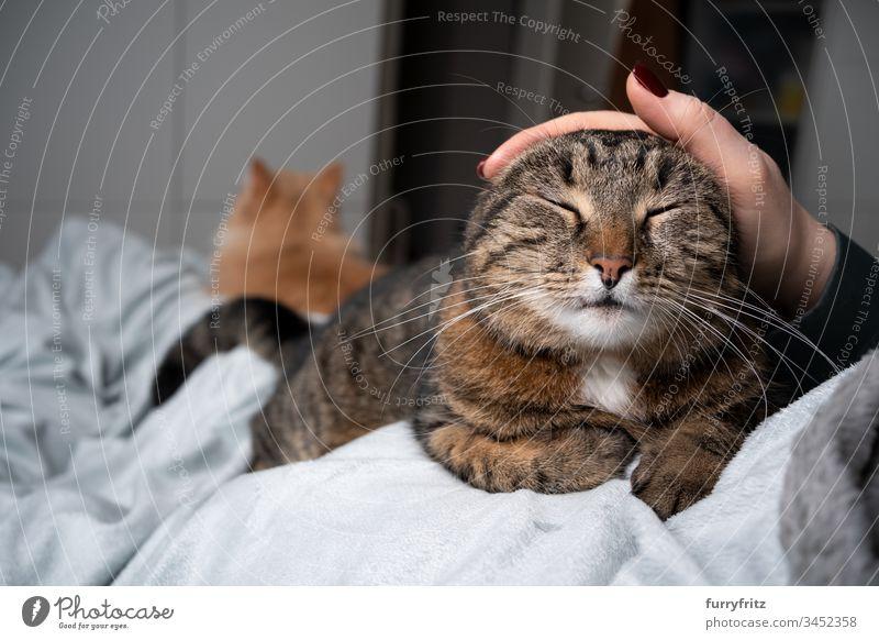 Katze wird auf dem Bett von Mensch gestreichelt. Eine andere Katze liegt im Hintergrund Haustiere katzenhaft Fell weiß Zwei Tiere häusliche Kurzhaar Tabby