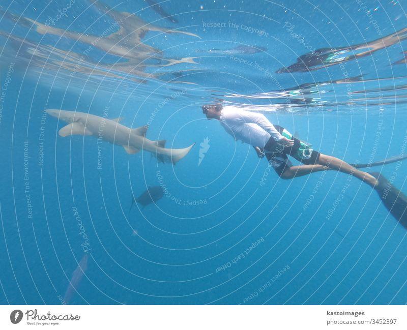 Männlicher Freitaucher und Ammenschurke, Ginglymostoma cirratum, schwebt unter Wasser im blauen Ozean. Haifisch Ammenhai MEER Meer marin Schnorcheln Sinkflug