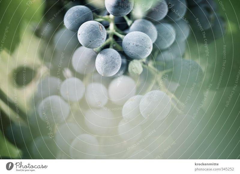 Zum Weinen Umwelt Natur Pflanze Herbst Nutzpflanze Weintrauben Weinberg frisch lecker süß blau grün Traubensaft Weinbau Weinlese Weingut Frankreich Blatt