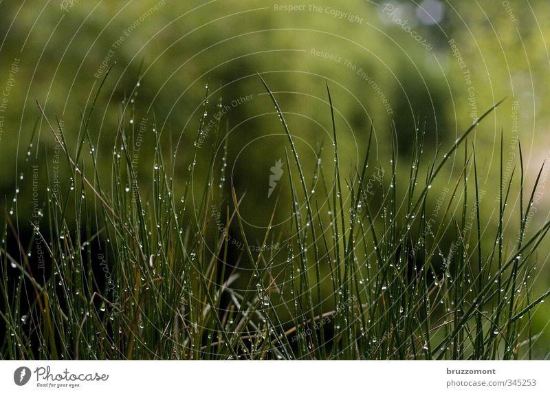 sattgrün Natur Pflanze Frühling Sommer Wetter schlechtes Wetter Regen Gras Wachstum nass Halm feucht Wassertropfen tropfend Farbfoto Außenaufnahme Menschenleer