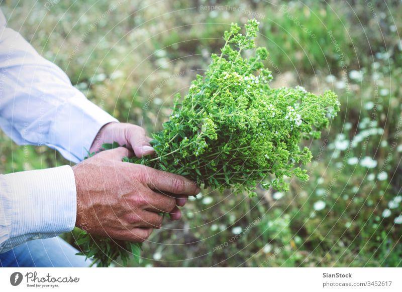 Mann hält einen Blumenstrauß oder Oregano frisch männlich Hände wild Hand organisch Lebensmittel Garten Natur grün Gesundheit natürlich Pflanze Blatt Kraut