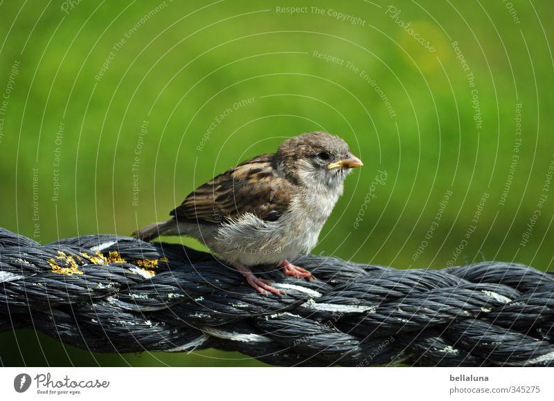 Adipositas Umwelt Natur Gras Garten Park Wiese Tier Wildtier Vogel Tiergesicht Flügel Krallen 1 Tierjunges sitzen Spatz Sperlingsvögel Seil Farbfoto