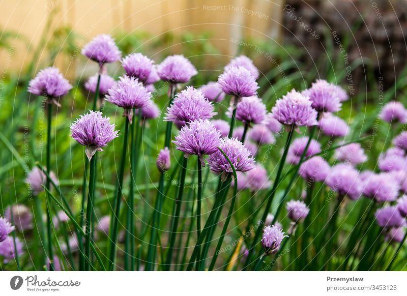 Blühender Schnittlauch im Garten Gemüse Natur Pflanze organisch Gesundheit Lebensmittel natürlich Blume grün horizontal Tag Licht hell farbenfroh