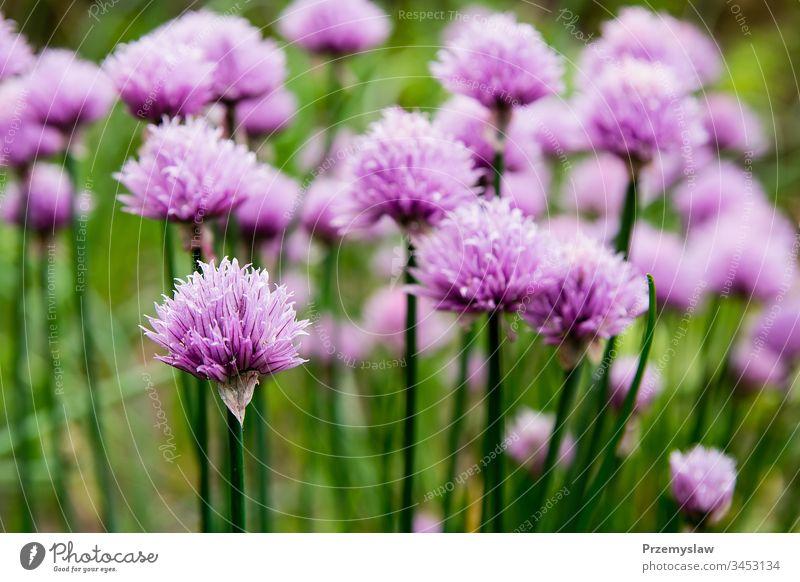 Blühender Schnittlauch im Garten Pflanze Natur Lebensmittel Gesundheit organisch Gemüse horizontal Tag Licht hell farbenfroh Blume grün