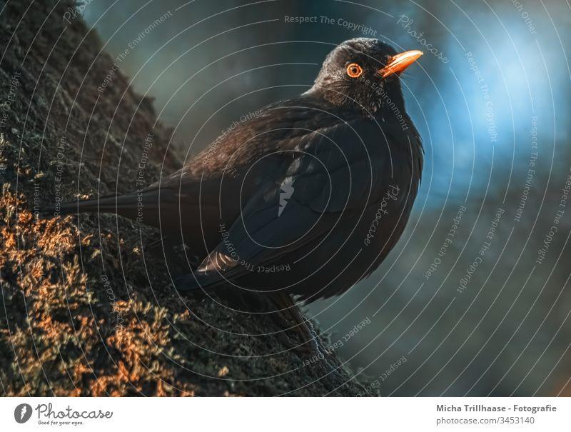 Amsel im Abendlicht Turdus merula Tierporträt Kopf Schnabel Tiergesicht Auge Feder gefiedert Dämmerung Morgen Low Key sitzen beobachten Außenaufnahme