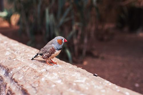 Kleiner Vogel (Zebrafink) von einer Seite auf eine natürliche Umgebung allein Tier Hintergrund Schnabel schön beige schwarz hell braun schließen Farbe