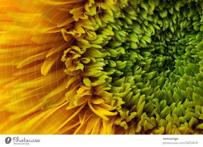 Nahaufnahme einer Teddybär-Sonnenblume 2013 Rumänien Timisoara Ackerbau Hintergrund Bär schön Blüte Botanik hell Farbe Landwirtschaft Flora geblümt Blume Garten