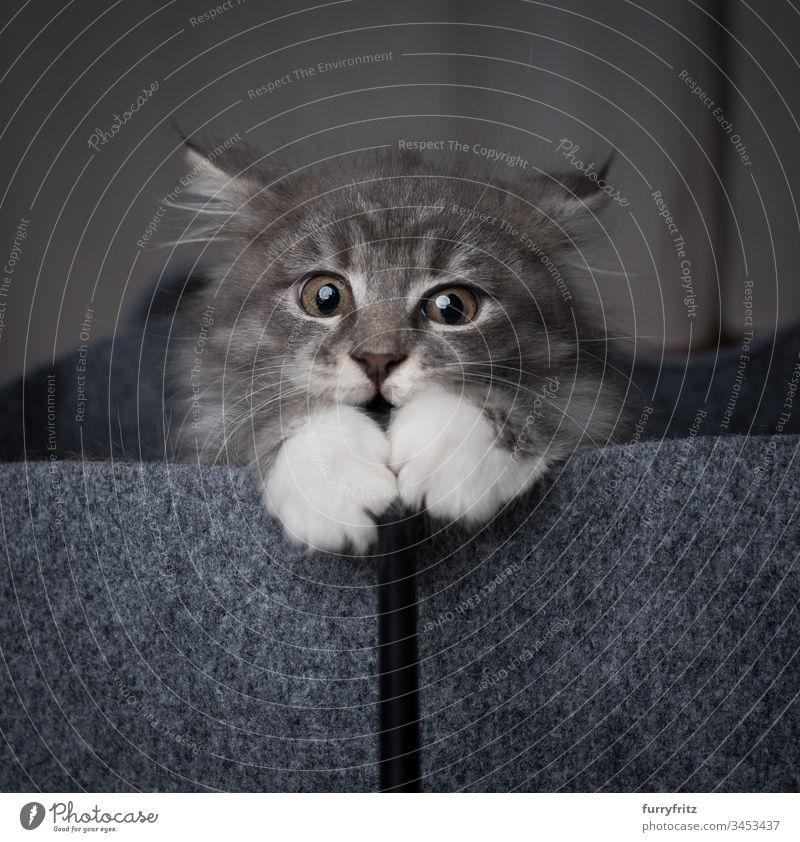 Maine Coon Kätzchen in einem Filzbeutel, das mit  Katzenspielzeug spielt 2-5 Monate bezaubernd Aggression tierisches Auge Tierhaare schön blau gestromt Bokeh