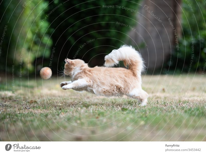 Maine Coon Katze rennt und spielt Ball im Garten keine Menschen im Freien Ein Tier niedlich bezaubernd Langhaarige Katze Creme-Tabby Hirschkalb beige Rassekatze
