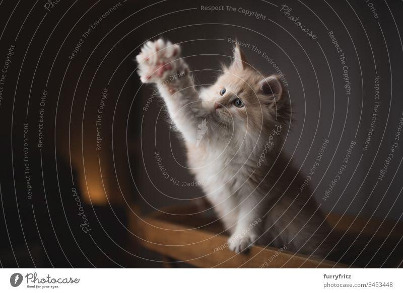 verspieltes Maine Coon Kätzchen streckt die Pfote aus 2-5 Monate bezaubernd tierisches Auge Tierhaare Arme hochgezogen schön Betteln - Verhalten von Tieren