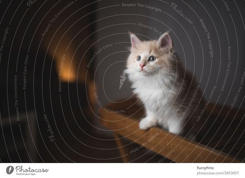 junges neugieriges Maine Coon Kätzchen steht auf einem Holz Tablett 2-5 Monate bezaubernd Abenteuer Wachsamkeit tierisches Auge Tierhaare schön
