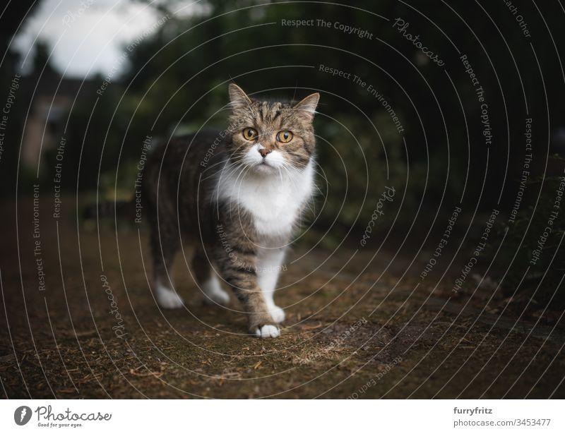 britisch Kurzhaar katze steht im Garten Britisch Kurzhaar Katze in die Kamera schauen Neugier bezaubernd Wachsamkeit tierisches Auge Tierhaare Bokeh Botanik
