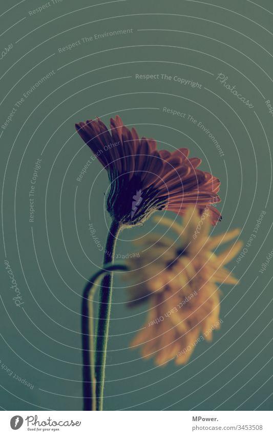 gelb und rot gerbera Blumen Pflanzen Gerbera Blüte Makroaufnahme Nahaufnahme Blütenblatt Blühend Frühling Menschenleer Schwache Tiefenschärfe