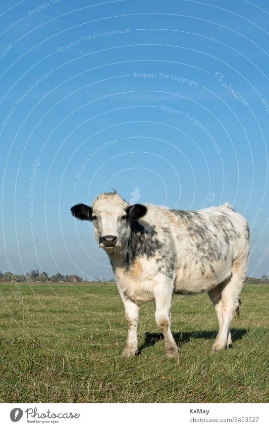 Rind auf einer Weide im Sommer in Norddeutschland, Deutschland, Europa Kuh Tier Vieh Bovidae Nutztier Tierhaltung artgerecht Tierwohl schwarzbunte weiß single