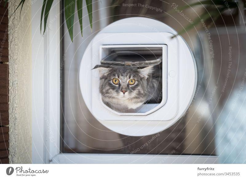 Maine Coon Katze verlässt die Wohnung durch eine Katzen klappe in der Scheibe blau gestromt Bokeh Katzenklappe Neugier niedlich Hauskatze katzenhaft fluffig
