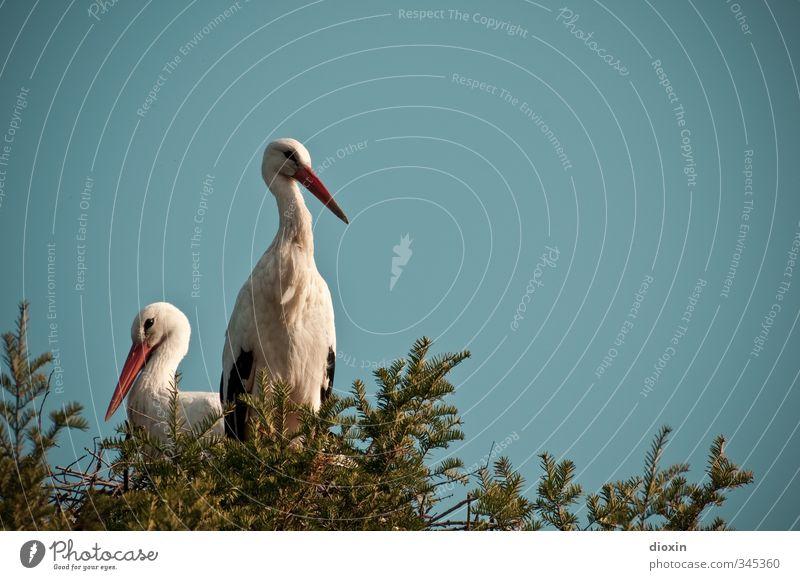 home, sweet home Umwelt Natur Himmel Wolkenloser Himmel Sommer Schönes Wetter Pflanze Baum Tier Vogel Storch Weißstorch Schreitvögel Horst 2 Tierpaar
