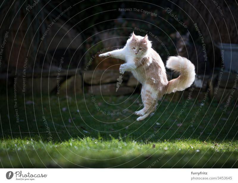 Maine Coon Katze spielt im Garten und springt in die Luft springend Air Vorder- oder Hinterhof Genuss Jagd Ziselierung fliegen Bewegung spielerisch Spielen