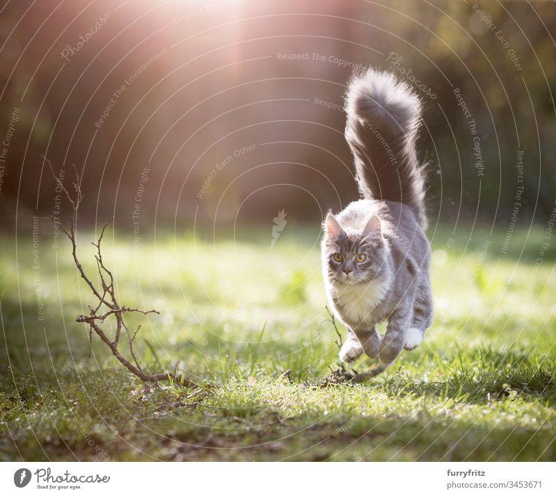 Maine Coon Katze mit flauschigem Schwanz rennt durch den sonnigen Garten rennen Jagd Ziselierung Geschwindigkeit schnell Bewegung spielerisch Blick niedlich