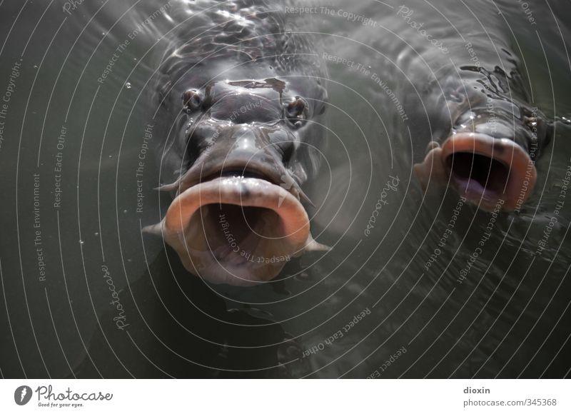 Abgründe Umwelt Natur Wasser Teich See Tier Wildtier Fisch Tiergesicht Karpfen Fischmaul 2 Schwimmen & Baden Ekel gruselig nass natürlich rund Farbfoto