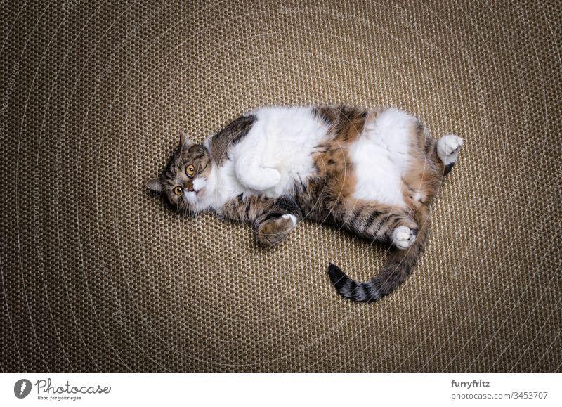 Übergewichtige faule Britisch Kurzhaar Katze liegt auf dem Rücken Lügen Sisalteppich Diät Fettleibigkeit tierisches Auge Tierhaare Schönheit Neugier niedlich