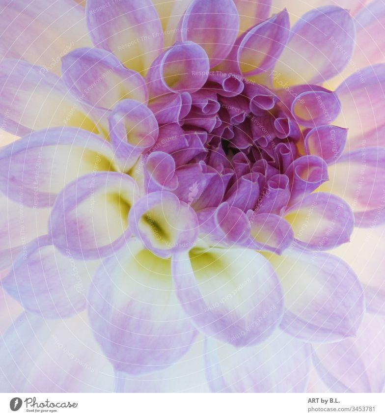 Dahlie fast wie gemalt blume blüte makro nahaufnahme dahlie natur karten schönheit