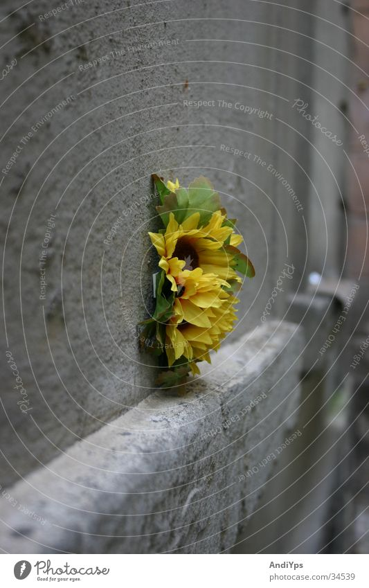 Blume_auf_Prager_Hauswand grün Pflanze gelb Wand grau Stein Mauer Sonnenblume Tschechien