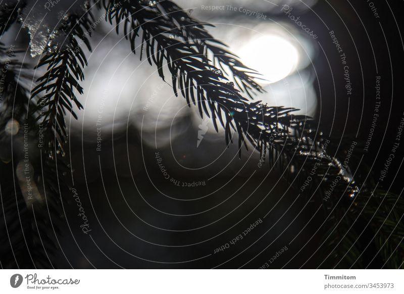 Schwarzwald Winterende mit Eisresten Fichte Fichtennadeln Baum Wald Natur Außenaufnahme Menschenleer Sonne Licht