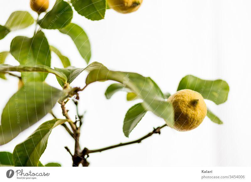 Zitrone an einem Zitronenbaum zitrone ast ernte zitronenbaum zweig gelb frucht gegenlicht blatt pflanze obst zitrusfrucht natur weiß frisch isoliert grün