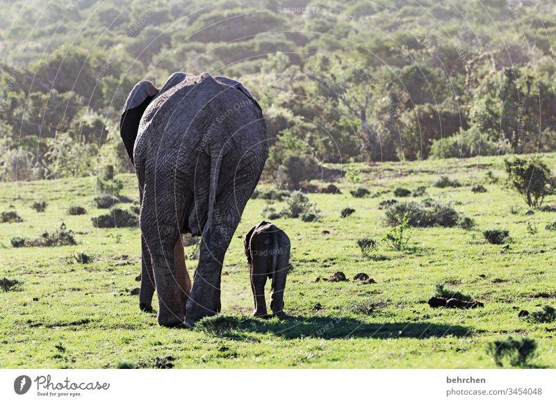 gegensätze | GROSS und klein Mutter mit Kind gemeinsam Zusammensein Tierbaby Tierfamilie Rüssel Geborgenheit Sicherheit Schutz Vertrauen Elefant Elefantenhaut