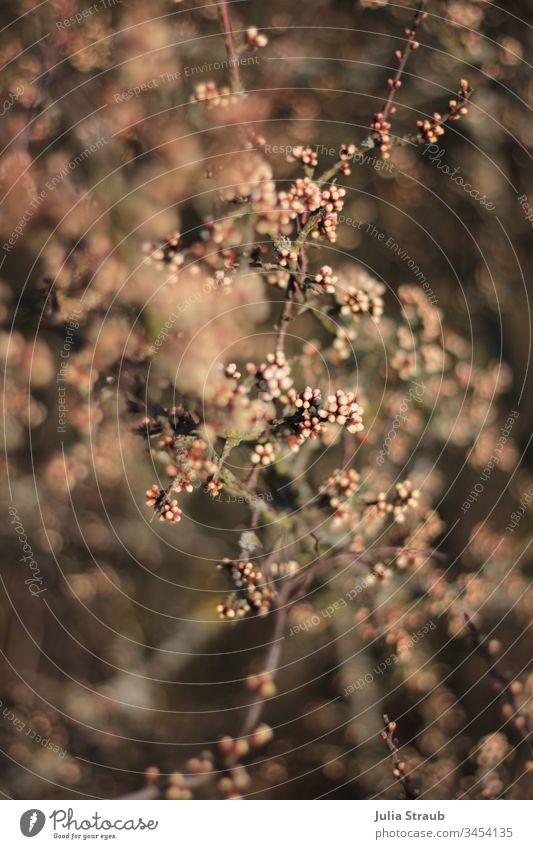 Strauch mit Rosa Knospen strauch Heckenpflanze knospen treiben Knospenblüher knospend rosa braun Natur Ast Äste und Zweige Perlend Kugeln Tiefenschärfe